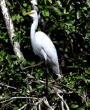 A Great Egret #3. This is a Winter picture of a Great Egret in the Everglades located in Big Cypress National Preserve in Ochopee, Florida in Collier County stock photos