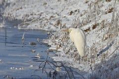 Great egret  in winter Stock Photo