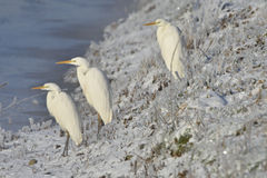 Great egret  in winter Stock Photography