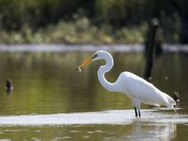 Free Great Egret With Fish 2 Stock Photography - 213022