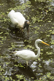 Great egret and wood stork wading in the Florida Everglades. Royalty Free Stock Photography