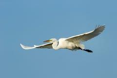 Great Egret (Ardea alba) in flight Royalty Free Stock Photo