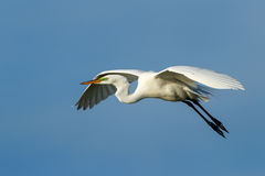 Great Egret (Ardea alba) in flight Stock Photography