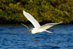 Great Egret (Ardea alba) in flight Royalty Free Stock Photos