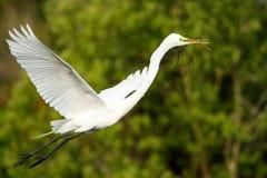 Great Egret (Ardea alba) in flight Stock Images