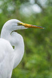 Great egret (Ardea alba) on green background. Royalty Free Stock Images