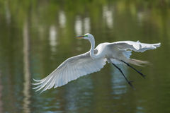 Great egret (Ardea alba) on green background. Royalty Free Stock Photography