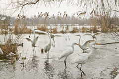 Great egrets Royalty Free Stock Photo