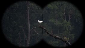 Great egrets ardea alba seen through binoculars. Bird watching at wildlife safari. Shot with a Sony RX10 IV fps 59,94 FHD stock footage