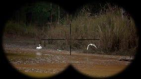 Great egrets ardea alba seen through binoculars. Bird watching at wildlife safari. Shot with a Sony RX10 IV fps 59,94 FHD stock video footage