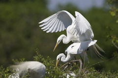Great Egrets Copulating at their Nest Royalty Free Stock Photos