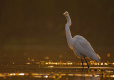 Great egrets. Great egret at sunrise in a lake Royalty Free Stock Photos