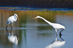 Great Egrets Hunting for Fish in Autumn Royalty Free Stock Photography