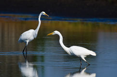 Great Egrets Hunting for Fish in Autumn Stock Photo