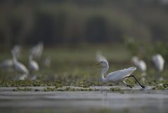 The Great Egrets in a lake Stock Photo