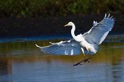 Great Egrets Landing in Shallow Water Stock Photo