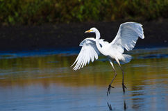 Great Egrets Landing in Shallow Water Royalty Free Stock Image