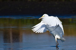 Great Egrets Landing in Shallow Water Royalty Free Stock Images