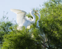 Great Egrets in Louisiana Stock Images