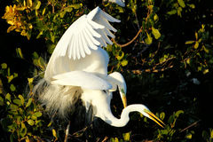 Great egrets mating Royalty Free Stock Image