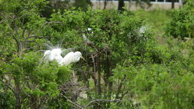 Great egrets nesting. Great egrets in mating plumage nesting stock footage