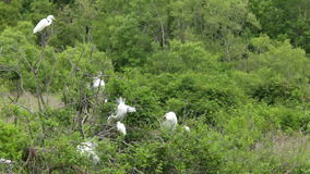 Great egrets nesting. With mating plumage stock video footage