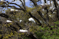 Great Egrets Nesting in Tree. Nine Great Egrets (Ardea alba) nesting in a tree in St. Augustine, Florida Royalty Free Stock Photography