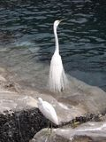 Great Egrets on the rocks royalty free stock photo