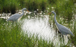 Great Egrets in a stream Royalty Free Stock Photography