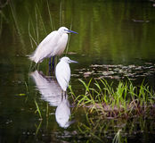 Great egrets in swamp Stock Photo