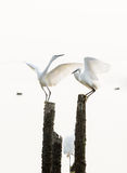 Great egrets Stock Photo