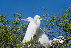 Great Egrets in the Wild Royalty Free Stock Photos