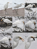 Great egrets in winter landscape. Bubulcus ibis stands on a beach Royalty Free Stock Photo