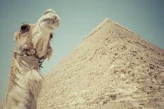 Great Egyptian pyramids in Giza, Cairo.  Stock Photo