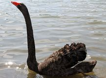 Great elegant black swan with the long neck in the pond Royalty Free Stock Photos