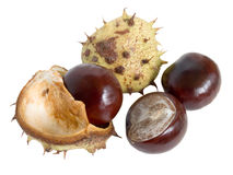 The great English Conker (Horse Chestnut). About to break from it's shell on white stock image