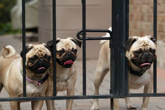 The Great Escape. Three pugs planning the next great escape Royalty Free Stock Photo