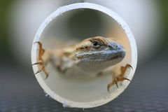 Great escape of a fence lizard Stock Image