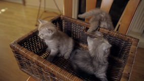 A great escape from prison. Three little kitten with blue eyes are sitting in a wicker box and trying to jump, one of them succeed stock video footage