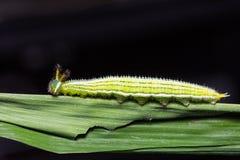 Great Evening Brown caterpillar Stock Photography