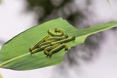 Great Evening Brown caterpillars Royalty Free Stock Photo