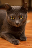 Great eyes cat. This is a Korat cat. Korats are a blue-grey short-haired breed, with  heart shape face. This breed is ideal for families with babies Stock Photos