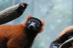 Really Great Face of a Red Ruffed Lemur Stock Image
