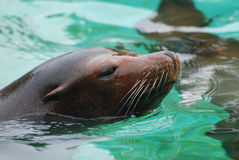 Great Face of a Sea Lion with Whiskers Royalty Free Stock Photography