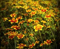 Great field of flowers called Bidens in spring Stock Images
