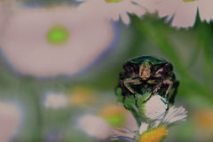 Great firefly on chamomile Royalty Free Stock Photography