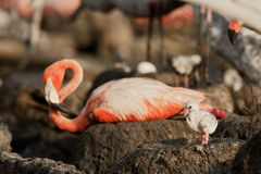 Great Flamingo Baby  (Phoenicopterus ruber) Royalty Free Stock Photography