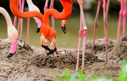 The great flamingo bird. Some great flamingo birds are having foods Royalty Free Stock Images