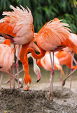 The great flamingo bird. Some great flamingo birds are having foods Stock Photo