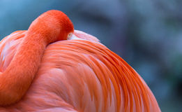The great flamingo bird. Some great flamingo birds are having foods Stock Images